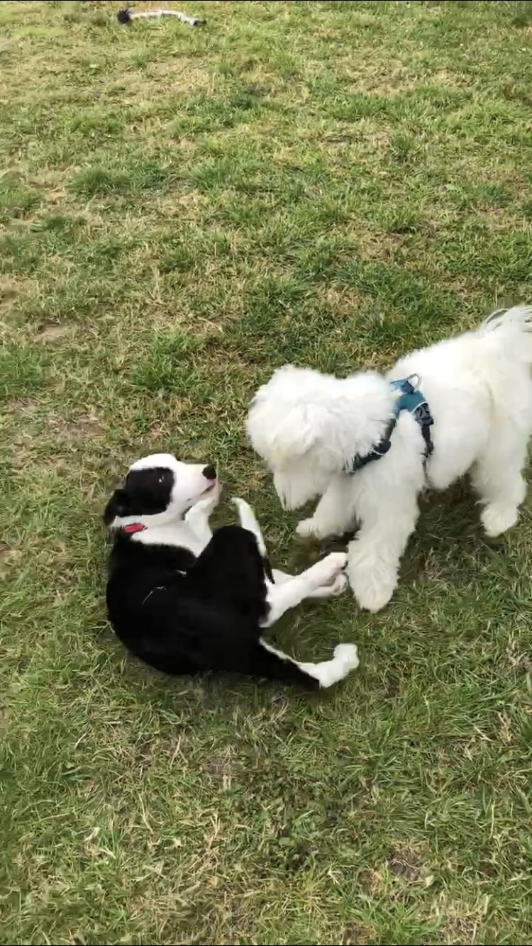 puppy socialisation Hildersham